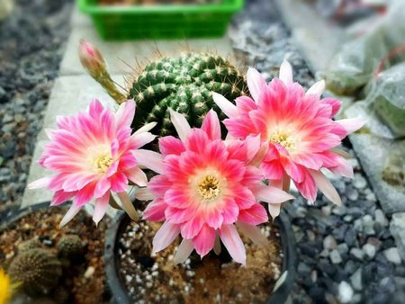 tolerate: (Cactus) is a succulent plant with a beautiful shape and variety, easy to tolerate any environment. It has become popular in gardening or planting small pots to decorate the house and put it on the desk. But do you know that the cactus or cactus you are r