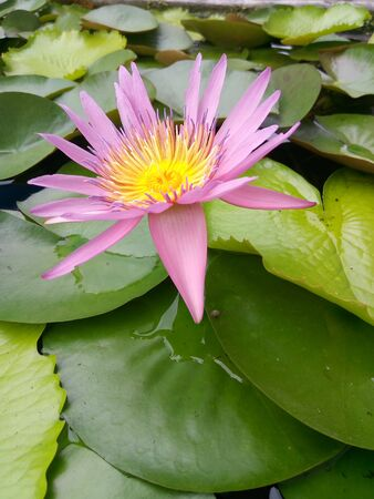Lotus is a water plant that is a symbol of goodness