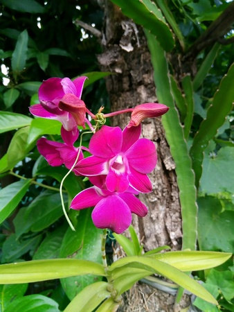 Purple orchid popular in the garden decoration beautiful. Stock Photo