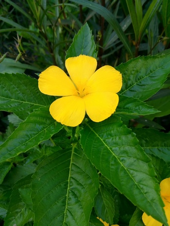 Sagerose popular in the garden decoration beautiful.