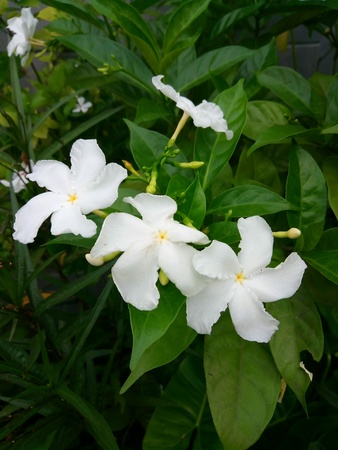 Gardenia crape jasmine has beautiful flowers Stock Photo