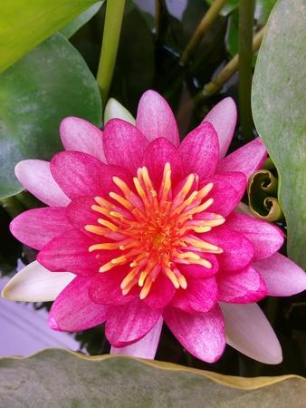 Lotus flowers close up view Stock Photo