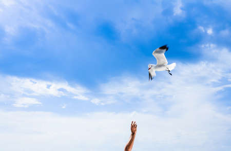 White seagull flying in a bright blue sky searching for food, over person with outstretched arm. Copy space