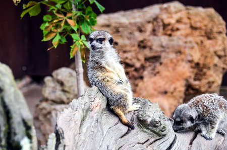 Portrait of Meerkat or Suricate in the park of Cabarceno, Cantabria