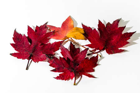 Autumn dry leaf fallen from tree on white background