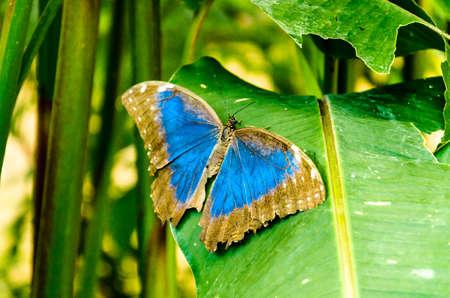 Beautiful Morpho Peleides (Blue Morpho) butterfly on green leaves Standard-Bild