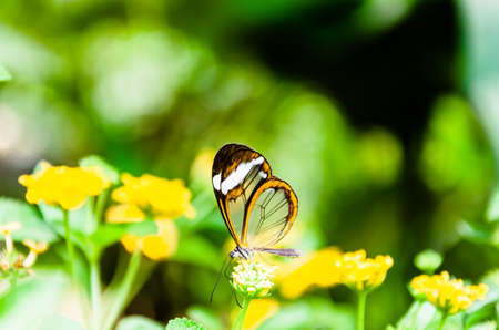 Glass or mirrored butterfly, transparent) (Greta Oto), lepidopteron