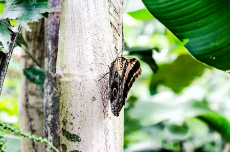 Owl butterfly (Caligo Memnon), lepidopteron