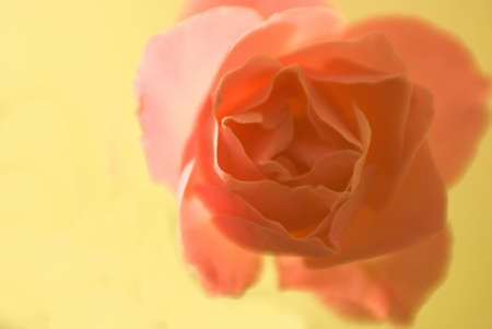 rose sign of passion and love ..
