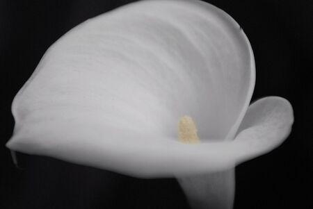 arum flower: calla