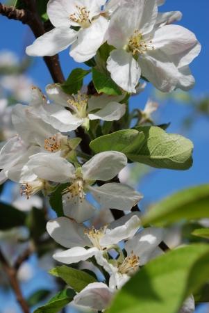 calatafimi: almond blossom in spring  Sicily