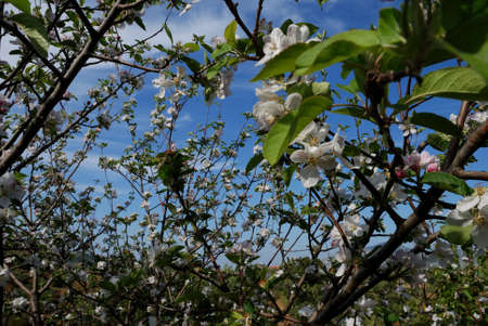 almond blossom in spring  Sicily  photo