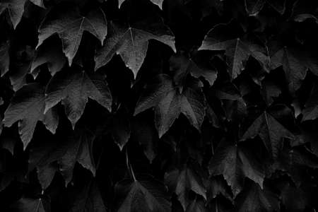 maple leaves in black and white (still life)