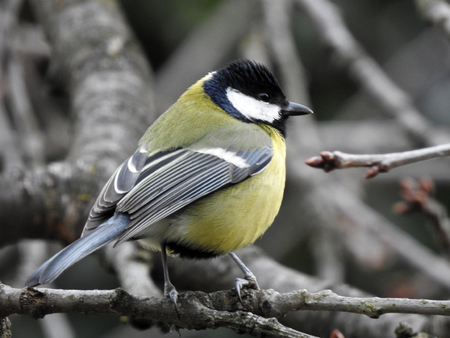 Great Tit (Parus major) sitting on a branch Stock Photo