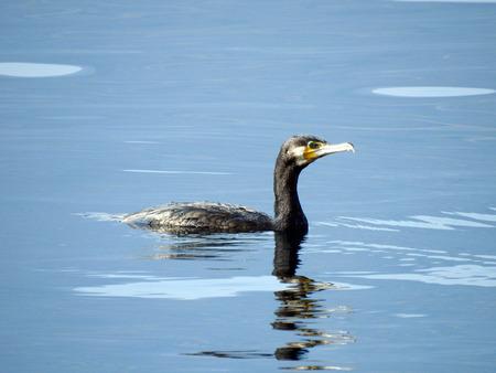 水面で泳いでいる鵜(フラクロコラックス・カルボ) 写真素材 - 96938259