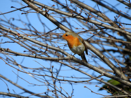 A robin redbreast (erithacus rubecula) is sitting on a branch Stock Photo