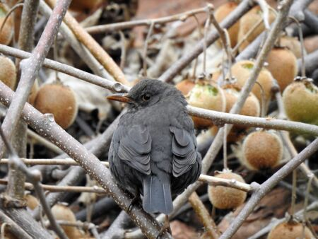 Blackbird, Turdus merula, Female on a kiwi tree - Italy