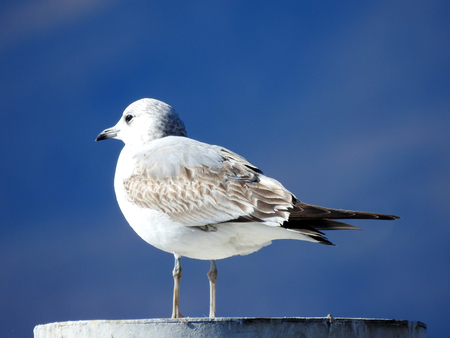 A mew gull on a pole of the boat berth that peers passersby