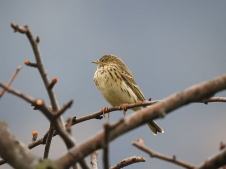 A Pipit (Anthus pratensis) on a branch before resuming migration