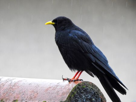 Alpine Chough (Pyrrhocorax graculus) on a roof - Italy