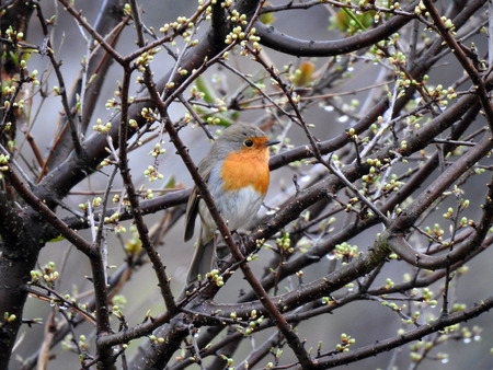 A robin redbreast (erithacus rubecula) is sitting on a branch 写真素材