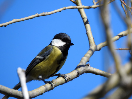 Great Tit (Parus major) sitting on a branch 写真素材
