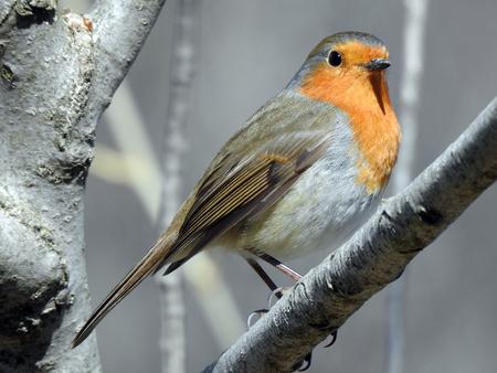 A robin redbreast (erithacus rubecula)