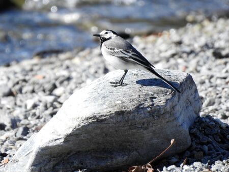 White wagtail looking for food on the beach