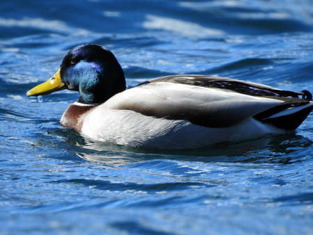 A Mallard is swimming on the water surface