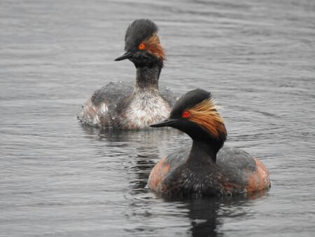 A couple of black-necked grebe (Podiceps nigricollis) is swimming on the water surface