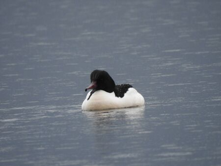 Male Goosander swimming in the Lake - Italy