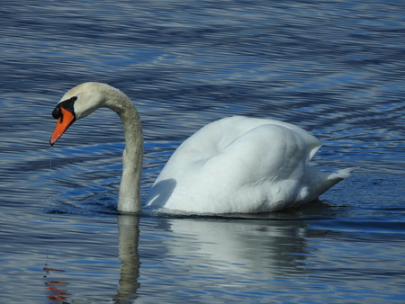 A Swan is swimming on the water surface