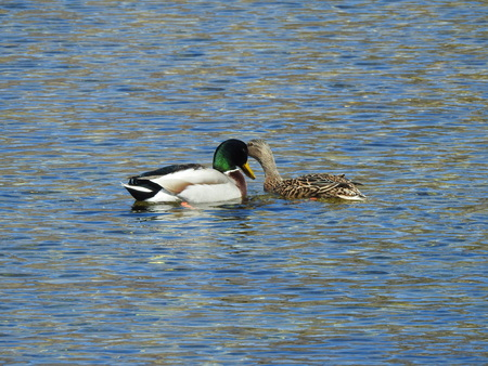 Two Mallard in love on the water surface 写真素材