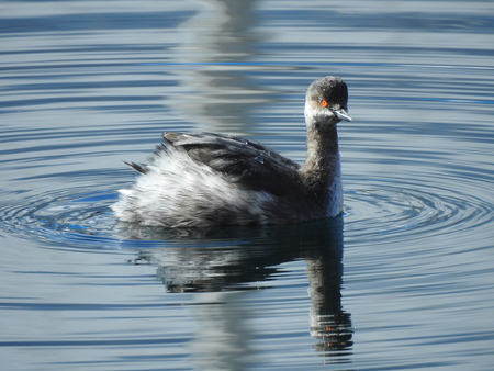 A black-necked grebe (Podiceps nigricollis) is swimming on the water surface