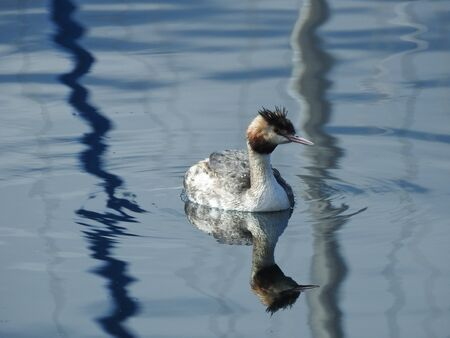 A great crested grebe (podiceps cristatus) is swimming on the water surface 写真素材