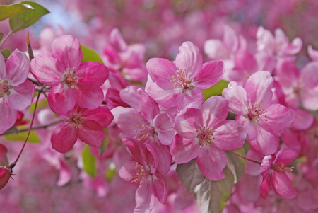 Malus apple Flower spring Backgrounds photo