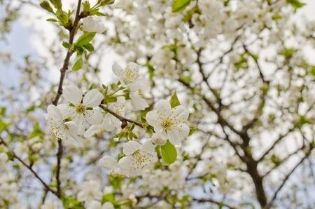 tree jasmine: flowers cherry apricot