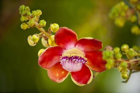 Sara flower is Rare flower Stock Photo