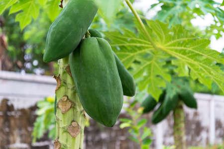 papaya tree isolated white background