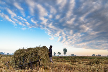 Soft focus Farmer harvesting rice in field, soft and select focus