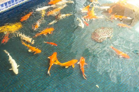 Koi carps swimming in the Pond, soft and select focus