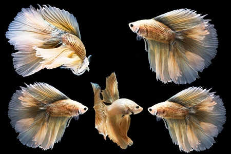Betta fish, moving moment of Siamese fighting fish isolated on black background, fighting fish. Stock Photo