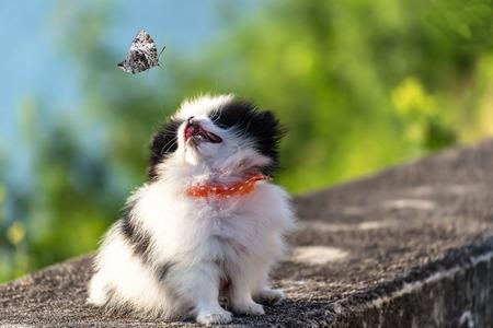 pupper dog pomperanian looking butterfly