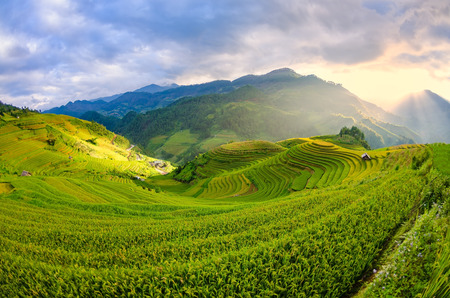 Terraced rice field in the harvest season in Mu Cang Chai,Rice terrace on during sunset ,Northeast region of Vietnam
