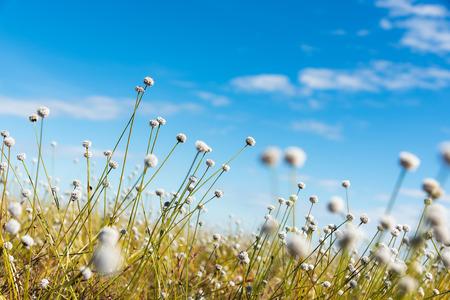 White flowers in full bloom, blur the field
