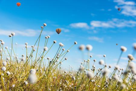 White flowers in full bloom, blur the field,balloon Banco de Imagens