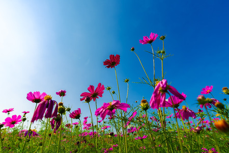 Pink and red cosmos flowers in the garden with clouds sky background