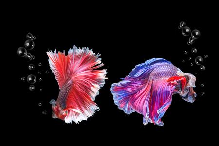 Colorful fish fighting Siamese betta on a black background Betta fish on a black background Fish fighting Siam Betta fish isolated on a black background Banco de Imagens