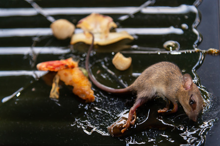Dirty rat in glue stick on the mousetrap. Sanitation concept.