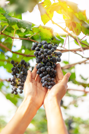two hand with Ripe grapes in fall. Banco de Imagens